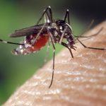 Mücke Weiblich Aedes Albopictus